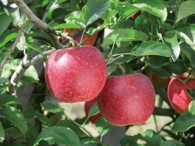 広大なリンゴ園でリンゴ三昧