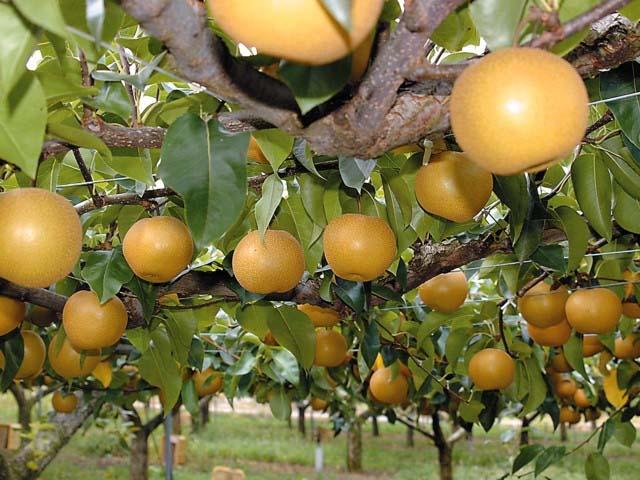 世羅高原で育った甘くてみずみずしいフルーツ